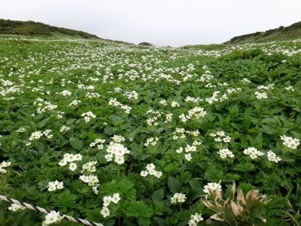 富良野岳の花たち