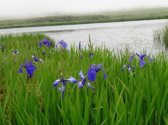 雨竜沼湿原の花たち