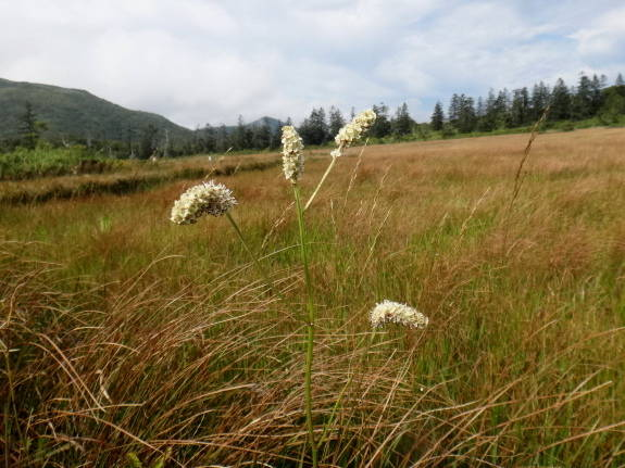 ニセコ連峰の花を少しだけ